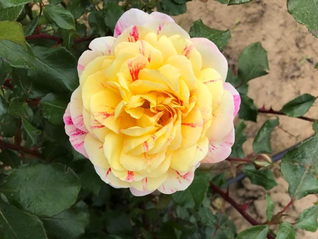 Pink Lemonade Rose pic: E.Hollett
