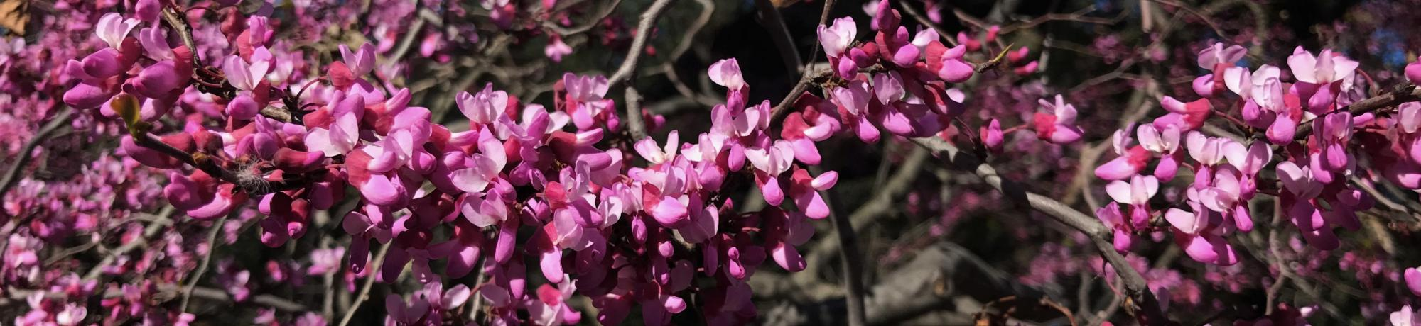western redbud in bloom